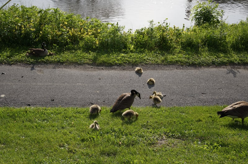 Goslings on the Fox River Trail